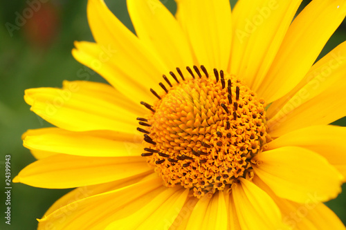 Photo Closeup photo of yellow arnica flower in the garden