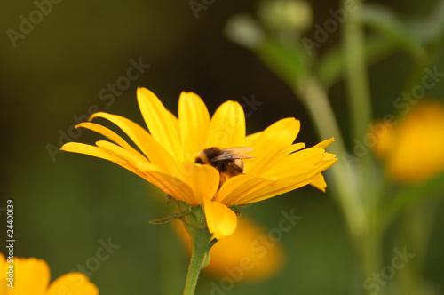 Sonnenblumen mit Biene