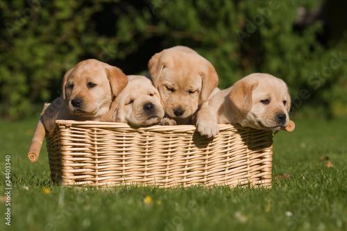 Plakat Labradora szczeniak w koszu