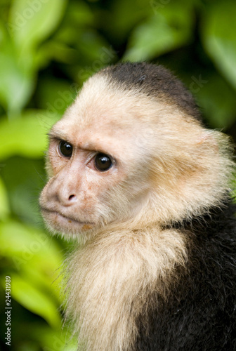 Photo Monkey The white faced capuchin in Costa Rica