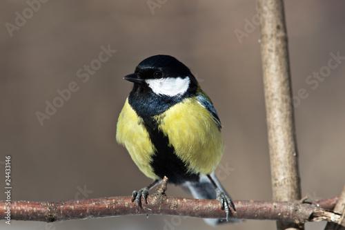 Recess Fitting Bird Great Tit, Parus major