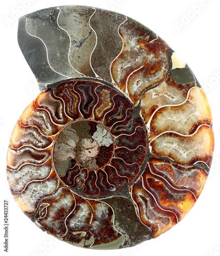 Photo coupe ammonite fossilisée, fond blanc