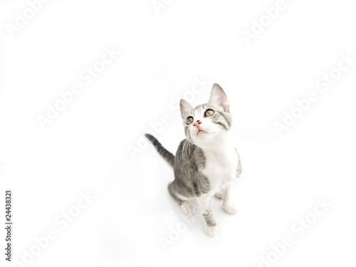 Cuadros en Lienzo gattina su sfondo bianco