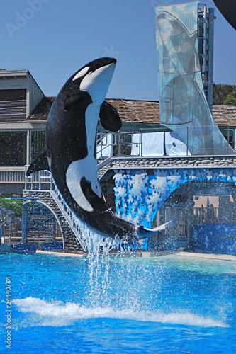 Poster Dolfijnen killer whale high jump