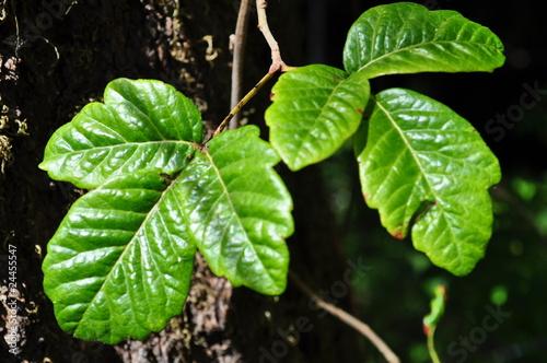 Fotografie, Obraz  Poison Oak lLeaf #2