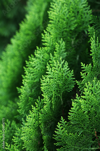Foto  Cypress Tree