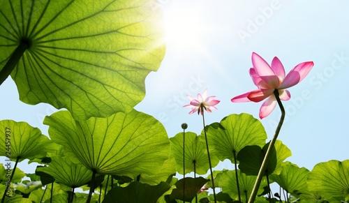 Fotobehang Lotusbloem Lotus