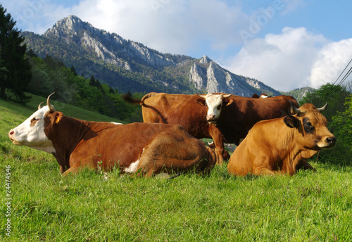 Photo sur Toile Vache vaches à l' alpage