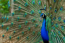 Blue Peacock With Colorful Opened Feathers.