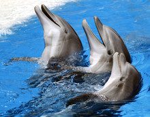 Dolphins At Loro Parque, Spain...