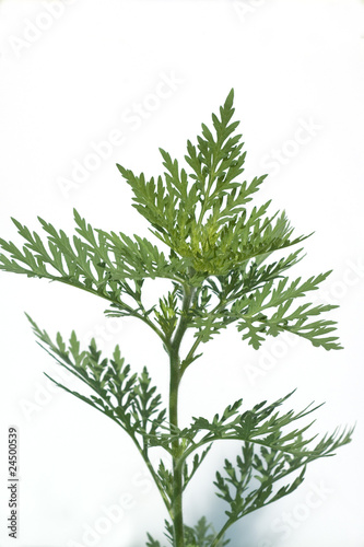 Ambrosia, Ambrosia artemisiifolia Canvas Print