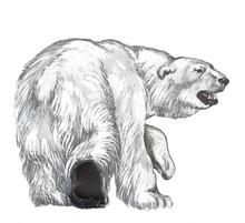 The Polar Bear Goes Across Arc...