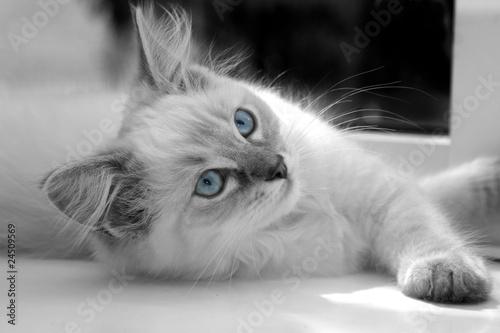 15 week old ragdoll kitten Canvas-taulu