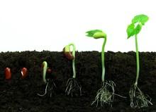 Bean Sprout Germination
