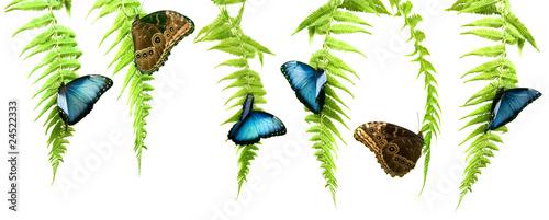Fotografía Blue Morpho butterflies