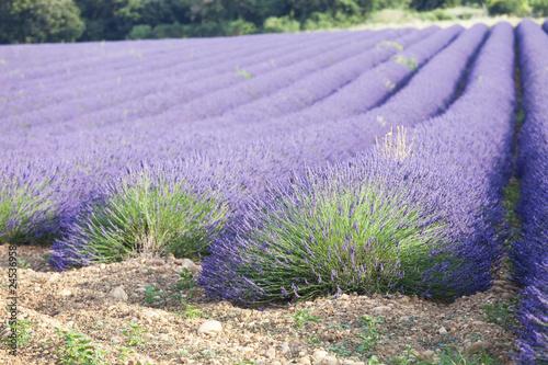 Fotobehang Lavendel champs de lavande
