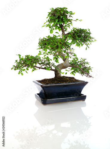 Spoed Foto op Canvas Bonsai mini ficus sous forme bonzaï