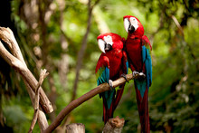 Colorful Scarlet Macaw Perched...