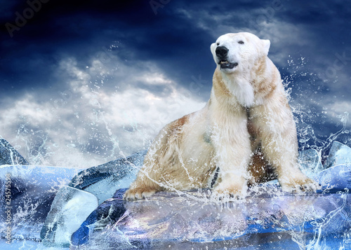 Photo sur Toile Photo du jour White Polar Bear Hunter on the Ice in water drops.