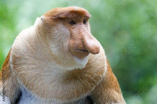 Foto op Canvas Aap Proboscis monkey