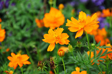 Orange Cosmos Flowers With Greenish Blurred Backdrop