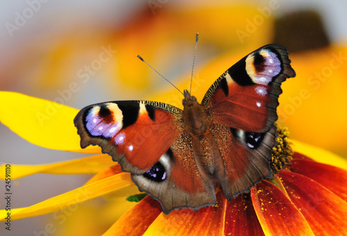 Peacock butterfly on the Rudbeckia bloom
