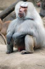 Old Baboon Male Seating. Papio Hamadryas Anubis.