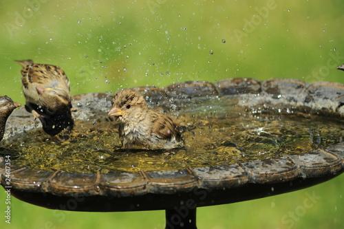Photo  Moineaux au bain