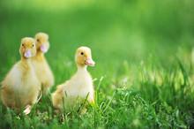 Three Fluffy Chicks