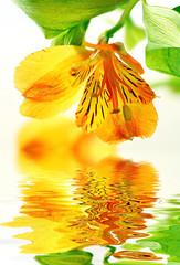 Fototapeta Optyczne powiększenie Fresh yellow lily