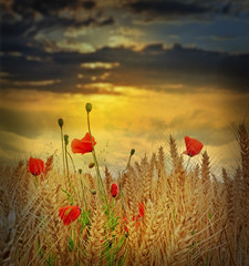 Fototapetafield with wheat and poppies in the sunset time