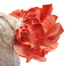 Pink Oyster Mushroom Emerges Out From Seed