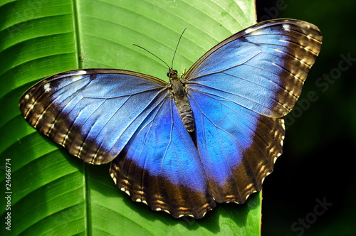 Fotografie, Obraz  Common Blue Morpho