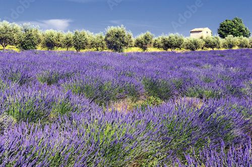 Tuinposter Lavendel lavande et oliviers en Provence