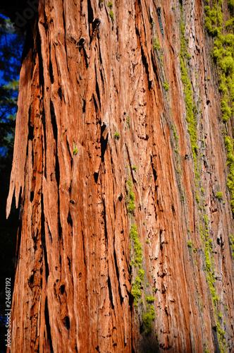 Foto op Plexiglas Landschappen Giant Sequoia