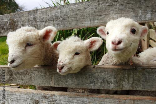Deurstickers Schapen ニュージーランドの羊