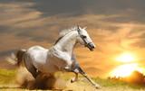Fototapeta Horses - white stallion
