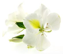 Bauhinia Blanc, Fond Blanc