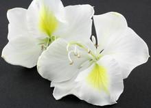 Bauhinia Blanc, Fond Noir