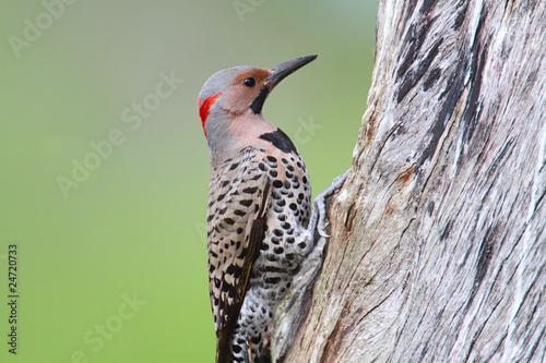 Sticker - Woodpecker building a nest