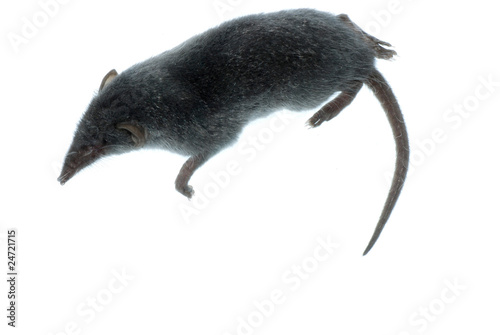 Fotografie, Obraz  mammal animal shrew rat