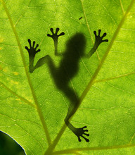 Close Up Of Frog's Shadow On L...
