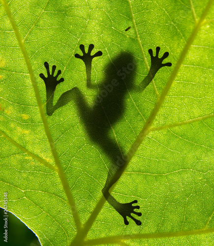 Spoed Foto op Canvas Kikker Frog shadow on the leaf