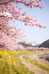 FototapetaCherry blossoms and yellow flowers and river.