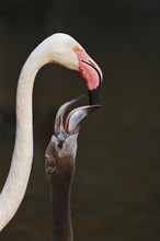 Feeding Of Young Cuban Flamingo