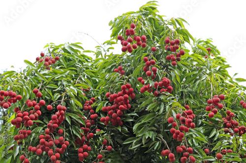 litchis, letchis, litchi sinensis, arbre fruitier tropical