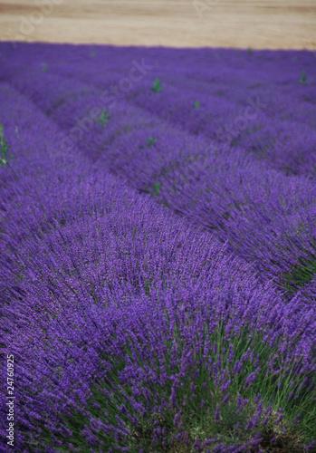 In de dag Lavendel Lavendelfeld