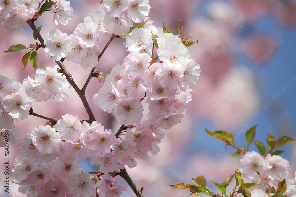 Fotorollo basic - Zweige mit blauem Himmel, Blütenzweige
