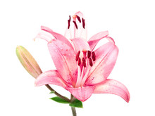 Wet Pink Lilly Isolated On Whi...
