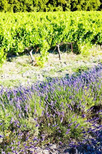 Fototapeta lavender field with vineyard, Drome Department, Rhone-Alpes, Fra obraz na płótnie